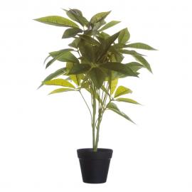 Planta árbol de la fortuna.
