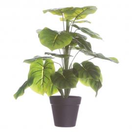 Planta philodendron.