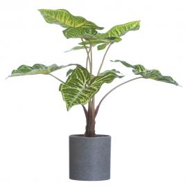 Planta philodendron pequeño.